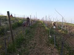 Pruning and cultivation of our organic Mataro vineyards /  Kλάδεμα και καλλιέργεια βιολογικών αμπελώνων Ματάρο