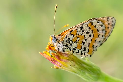 macro butterfly insect lepidoptera nymphalidae spottedfritillary melitaeadidyma melitaea redbandfritillary