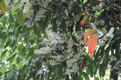 綠谷七月雪,錫蘭橄欖盛開中