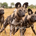 Pack_of_Dogs by kandace109