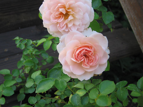 "David Austin English Rose ""Wildeve."" by Leenechan"