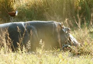 New Baby Hippo