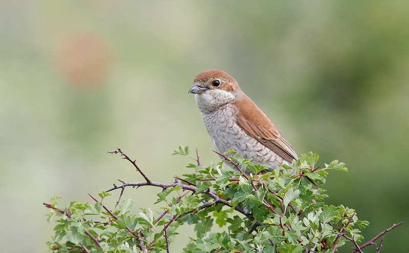 Red-backed Shrike (female)