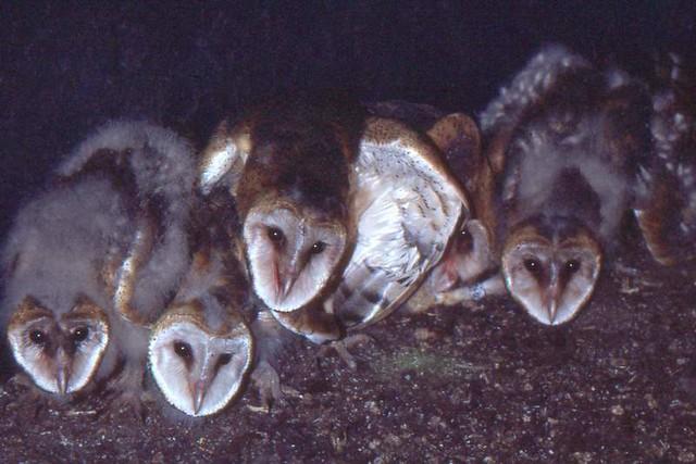 Young Barn Owls in Grain Silo (1982)