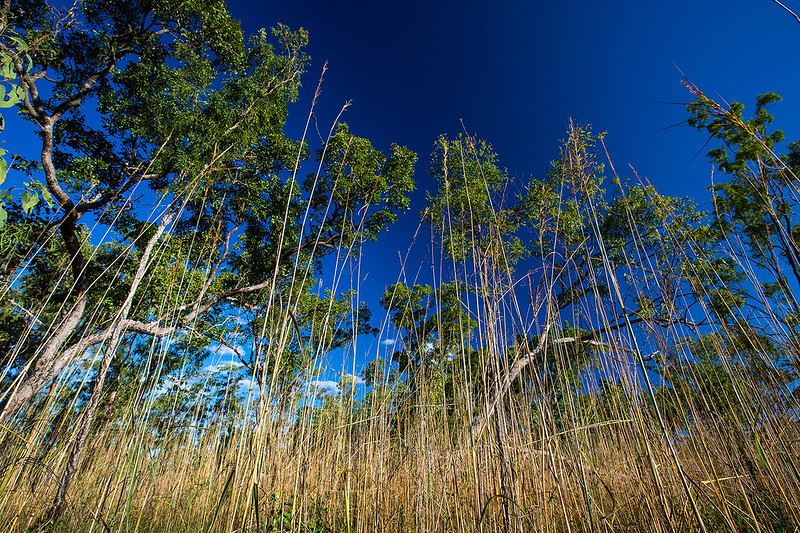 Spear grass - Photo by Parks Australia