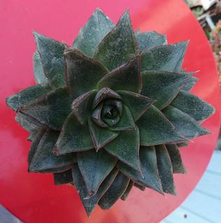 Echeveria purpusorum et hybrides 9334299989_f66e9e2fdc_n