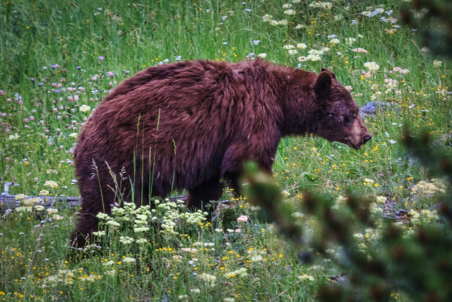 A Bear Grazing in the Hayden Valley