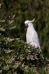 branch(0.0), pet(0.0), cockatoo(1.0), animal(1.0), parrot(1.0), wing(1.0), nature(1.0), sulphur crested cockatoo(1.0), green(1.0), fauna(1.0), beak(1.0), bird(1.0), wildlife(1.0),