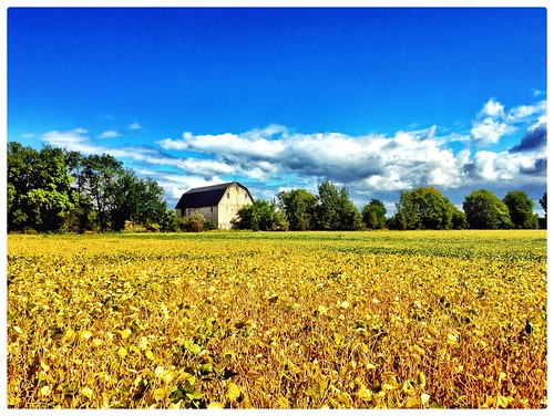 summer michigan farming barns annarbor soybeans iphone michiganbarns iphonography soybeanfields foxglen hdrbarns originalfilter vividhdr annarborbarns