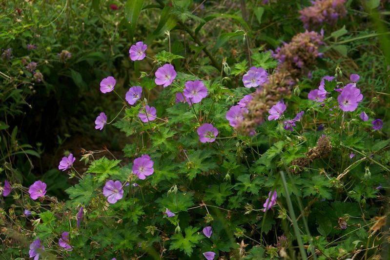 geranium rozanne  3561