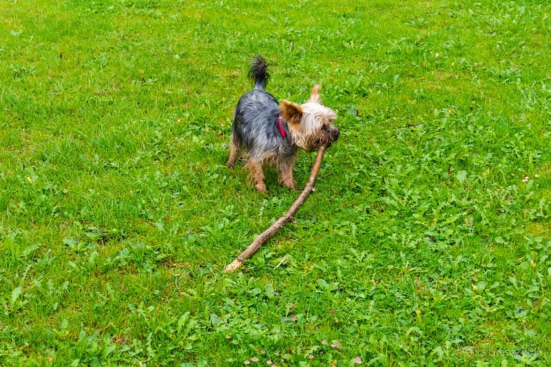 Small dog, Big Stick