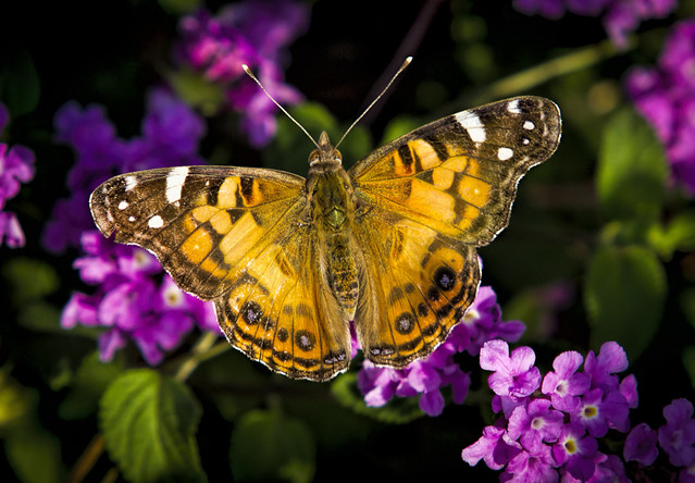 Using Georgia Native Plants: Moths - The Other Butterflies