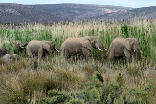 Elephants in Sanbona-01