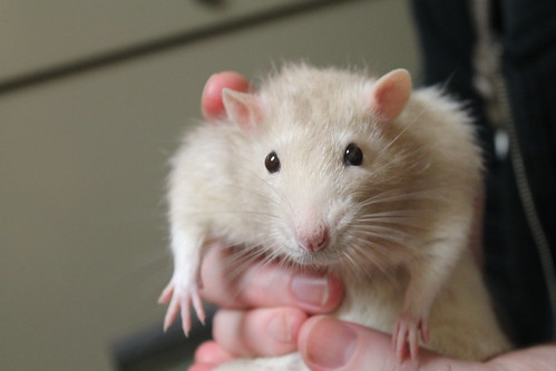Merlin the rat--super sweet