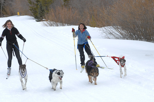 Cross country skiers skijoring with their dogs