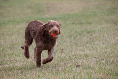 curly coated retriever(0.0), lagotto romagnolo(0.0), irish water spaniel(0.0), retriever(0.0), dog breed(1.0), animal(1.0), dog(1.0), boykin spaniel(1.0), pet(1.0), carnivoran(1.0), chesapeake bay retriever(1.0),