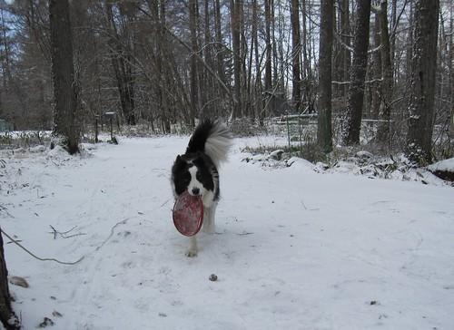 雪の中でフリスビー遊びをするランディ 2013.12.12 by Poran111