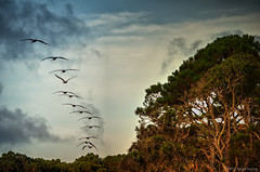Pelicans flying early morning