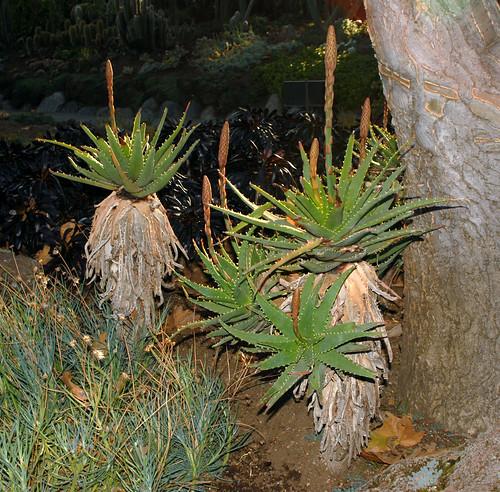 Aloe arborescens x Aloe erinacea