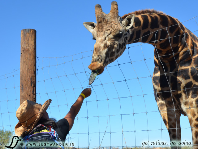 PIC: Maya feeding a Giraffe at Out of Africa Wildlife Park
