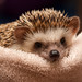 Petunia the Hedgehog by Jeff Carlson
