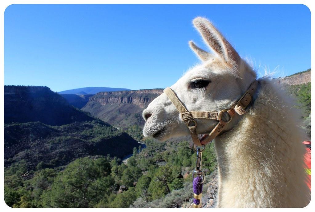 llama enjoying the rio grande