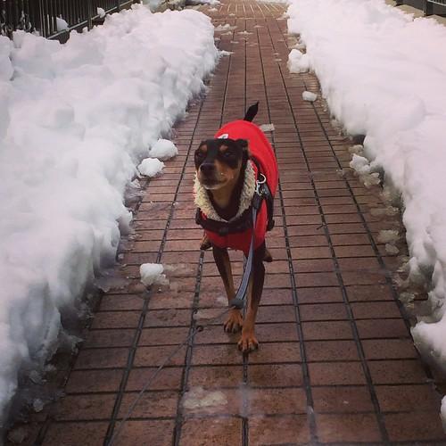 雪道を駆け抜ける黒犬(アップ)