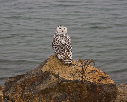 Snowy-Owl-Jan16th-2014_0116