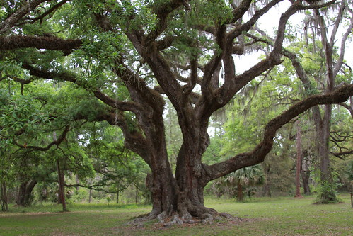 statepark march florida liveoak bushnell sumtercounty 250yearsold dadebattlefield