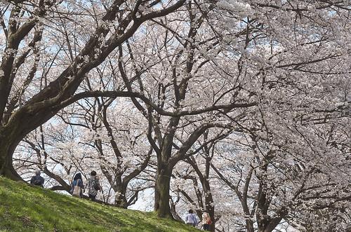 【写真】桜 : 背割堤