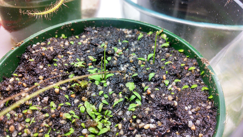 Utricularia livida with new flower stalks.
