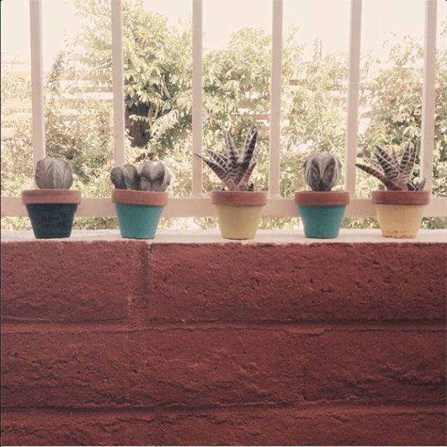 babysucculents