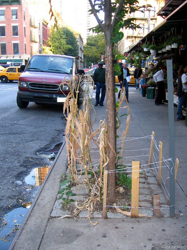 Corn growing in Hell's Kitchen, NYC