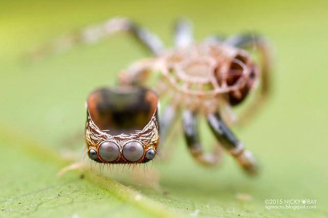 Jumping spider's exoskeleton (Salticidae) - DSC_9546