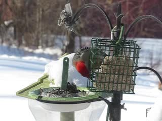Red-bellied Woodpecker and Two Chickadees Slow Motion Video taken with a Canon SX700 HS MVI_7285