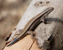 agama(0.0), smooth newt(0.0), newt(0.0), lissotriton(0.0), dactyloidae(0.0), animal(1.0), reptile(1.0), lizard(1.0), gecko(1.0), fauna(1.0), close-up(1.0), scaled reptile(1.0), wildlife(1.0),