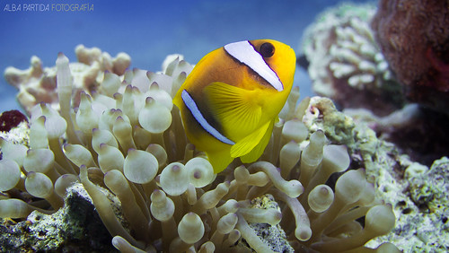 Pez payaso en el Mar Rojo Clown fish diving in the Red Sea