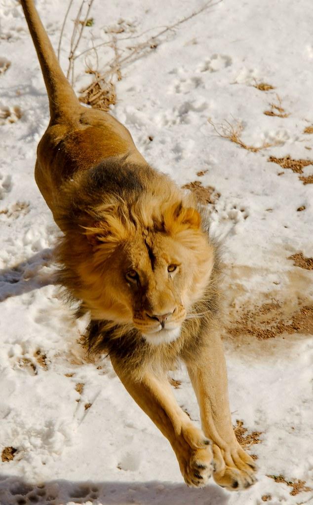 Lion (Panthera Leo)_8