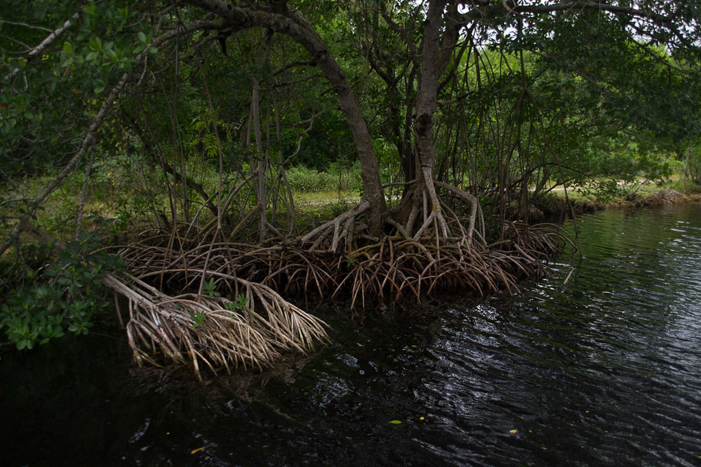 Mangrove Trees in Everglades National Park | Seen from boat tour