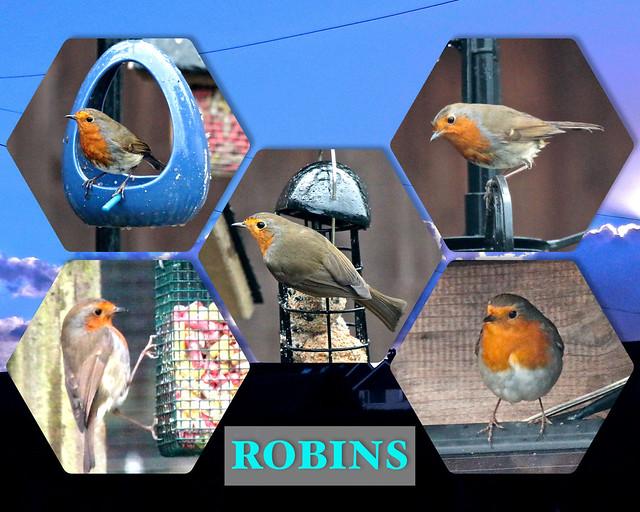 Robins 01