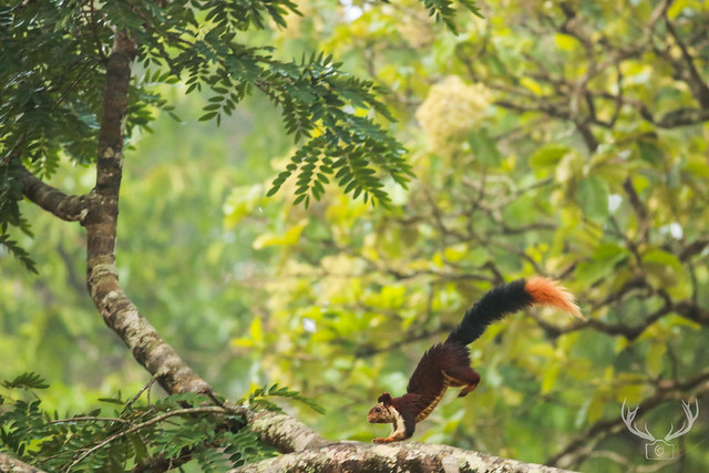 The Indian giant squirrel, or Malabar giant squirrel at Nagarhole