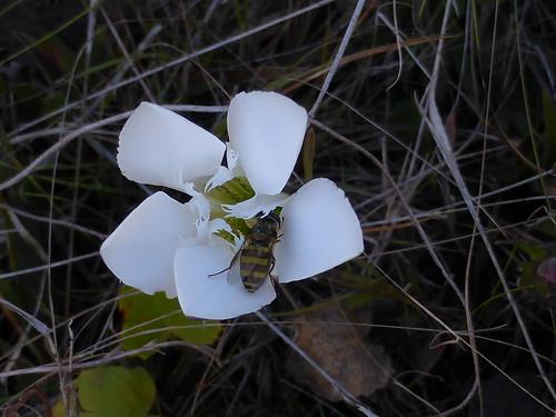 bee honeybee pollinator wiregrassgentian