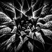 Succulent by Marcela McGreal