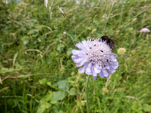 Bugs on scabious