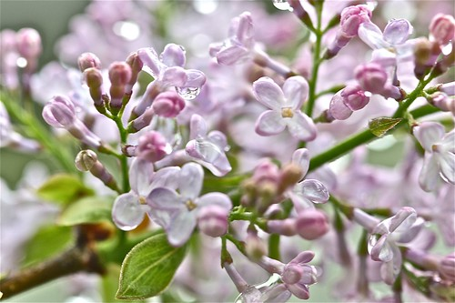 Lilacs After it Rained