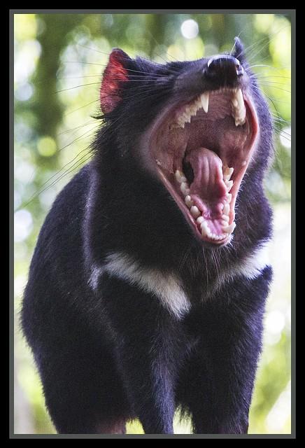 Tasmanian Devil at Australia Zoo-2=