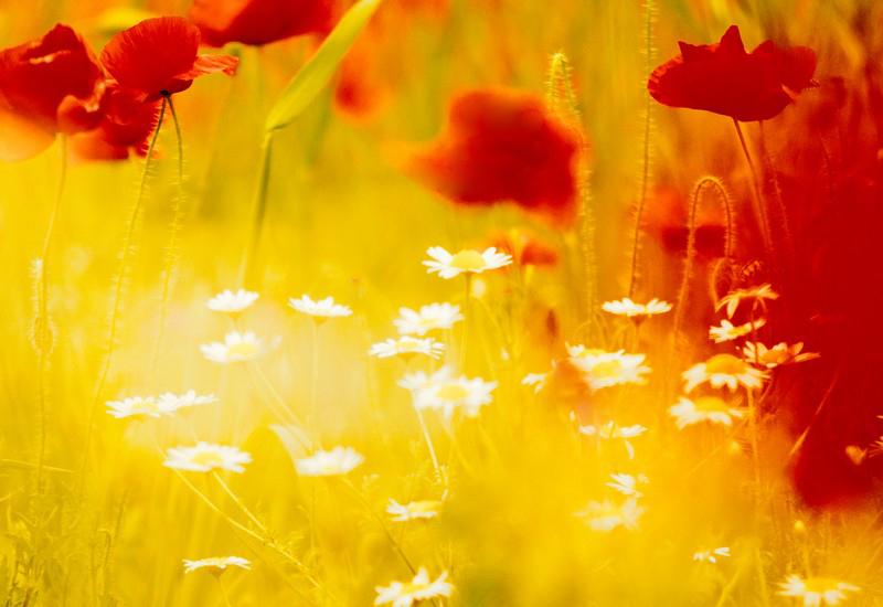 poppyfields11_1