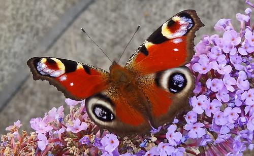 Buddleia Butterfly 03