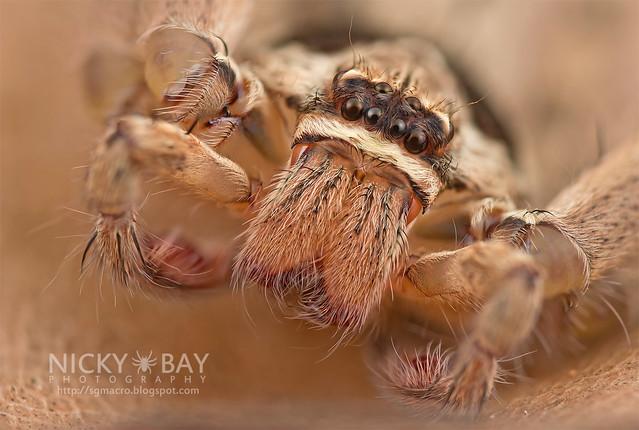 Huntsman Spider (Heteropoda sp.) - DSC_2987
