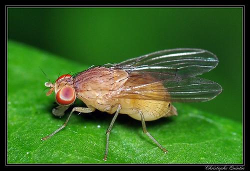 Sapromyza sp.